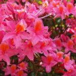 azalees japonaises