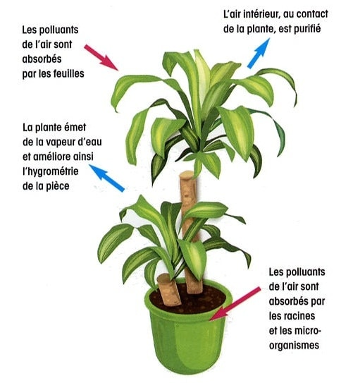 épuration air plante interieur
