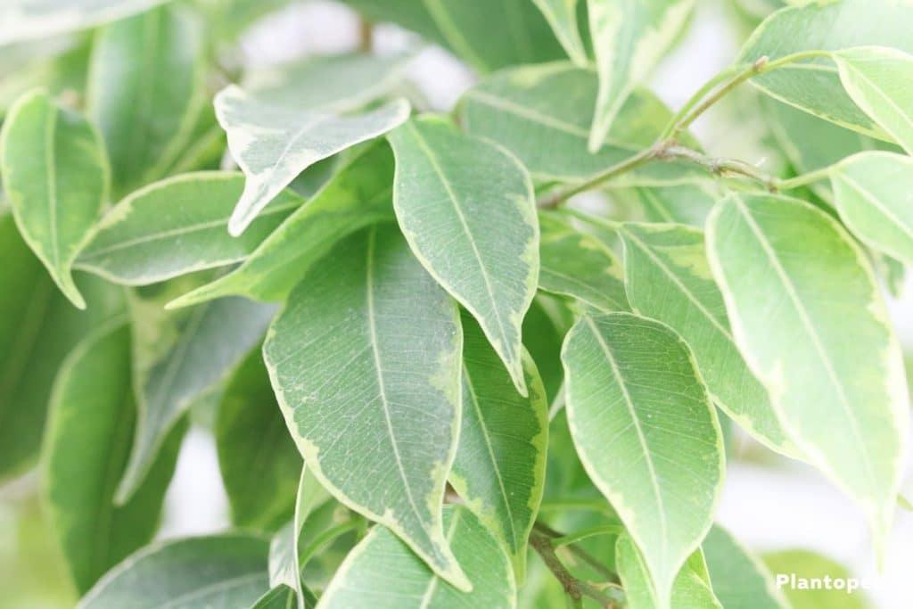 ficus-perd-ses-feuilles