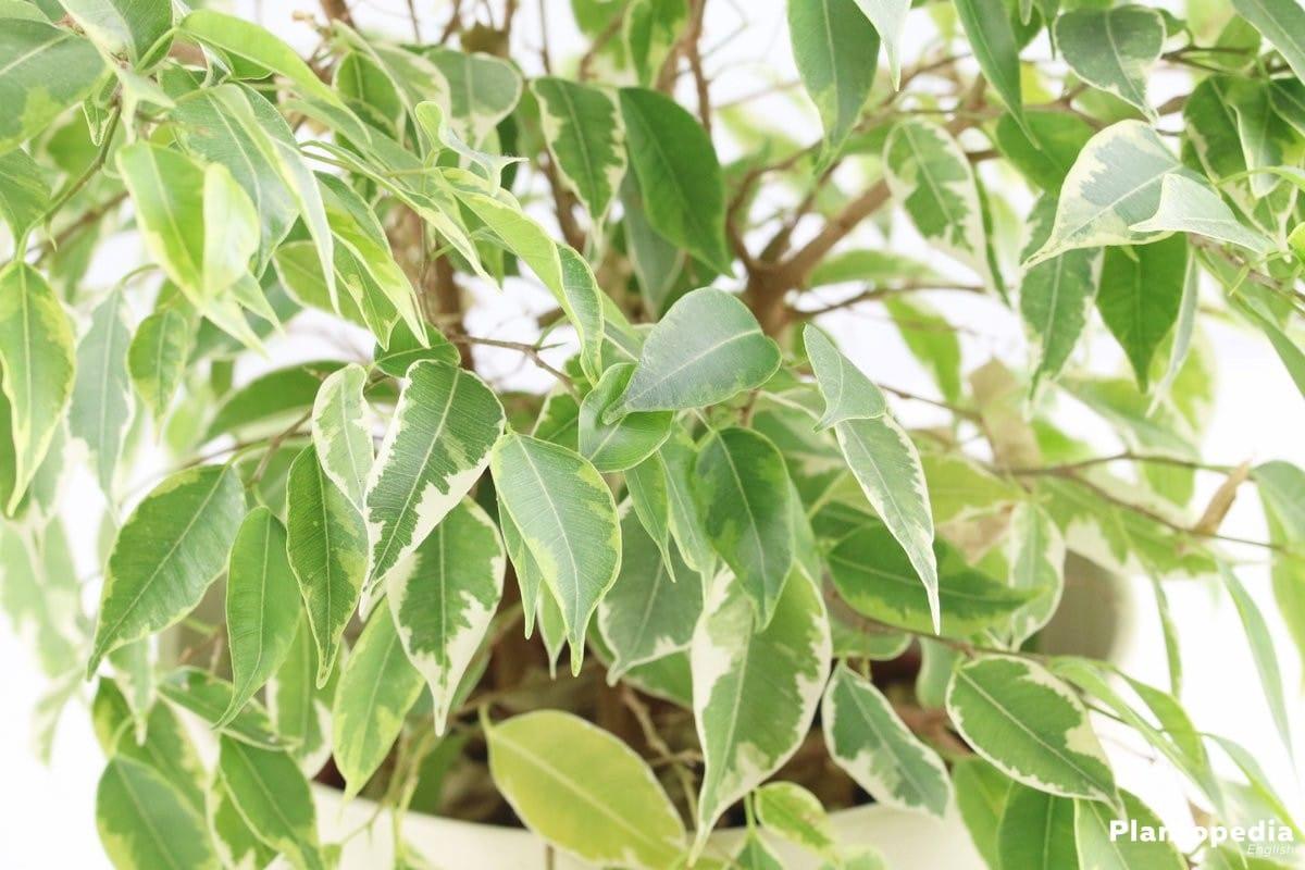 Ficus : conseils entretien, arrosage, taille