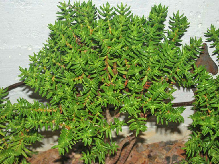 crassula tetragona plante grasse
