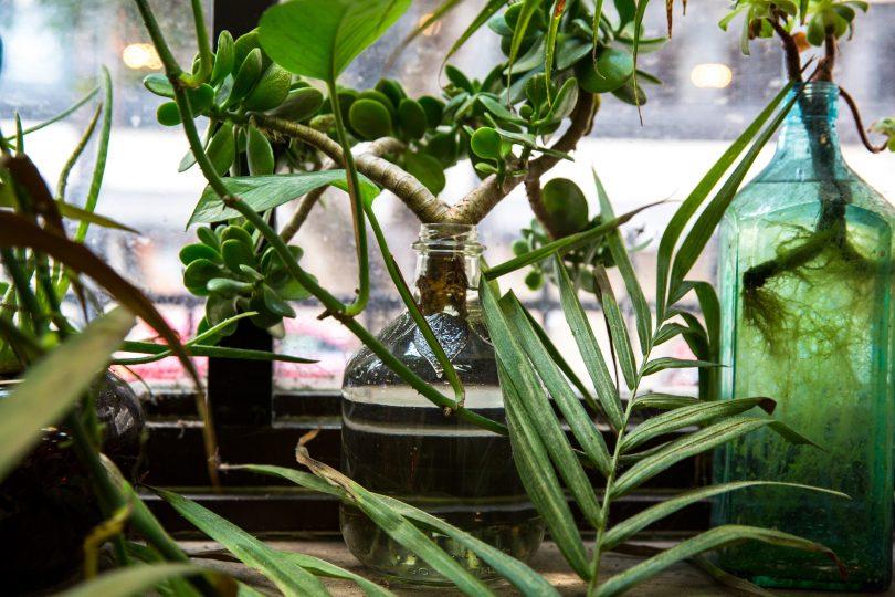 crassula ovata arbre de jade