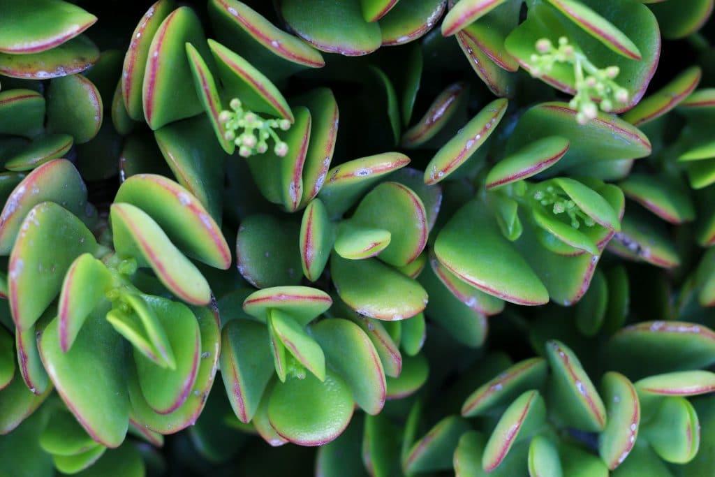plantes succulentes crassula ovata