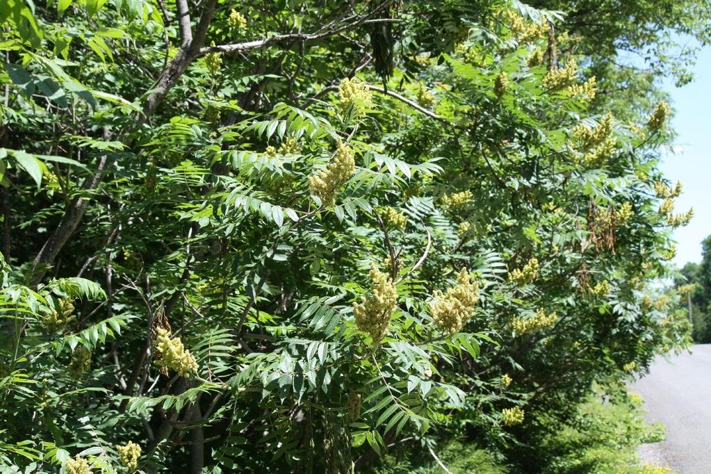arbustes à feuilles caduques