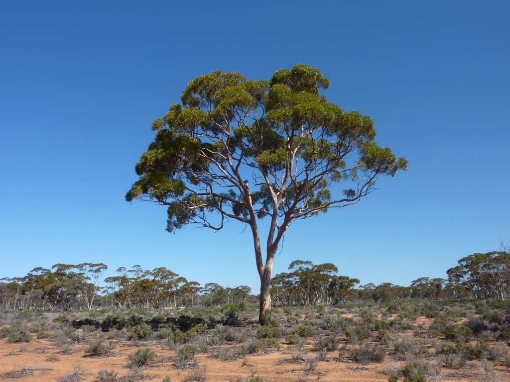 eucalyptus arbre a croissance rapide