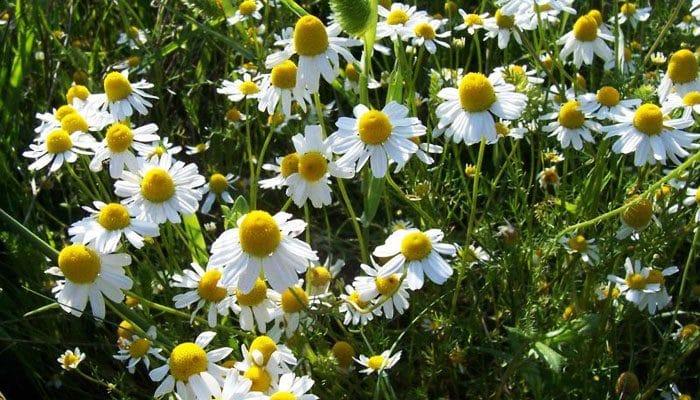fleur de camomille