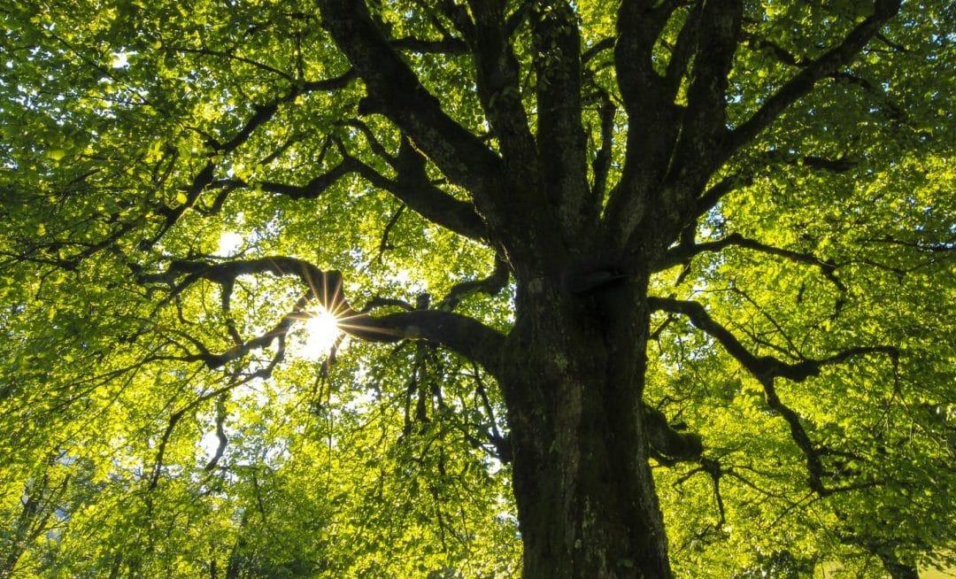 quel arbre grandit vite