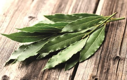 feuille d'eucalyptus