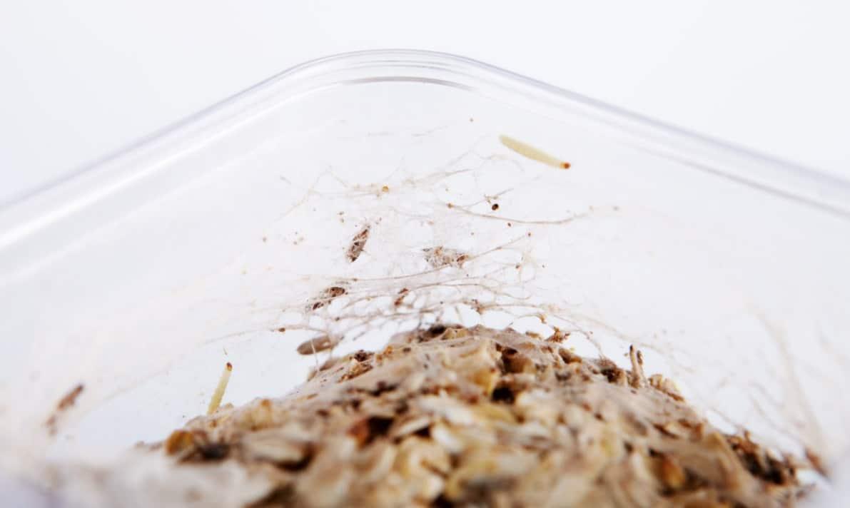 larve de mite alimentaire cuisine