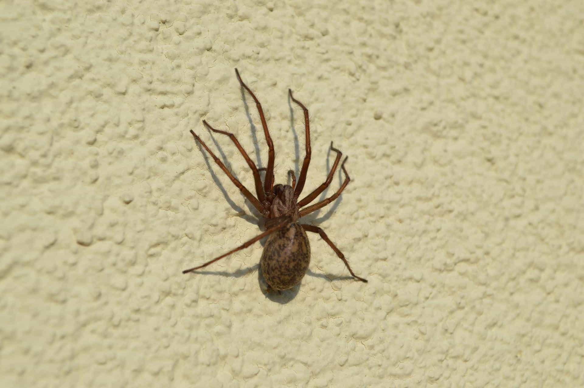 répulsifs anti-araignées naturels