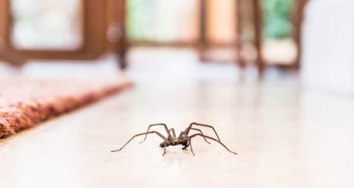 répulsifs naturels contre les araignées pour la maison