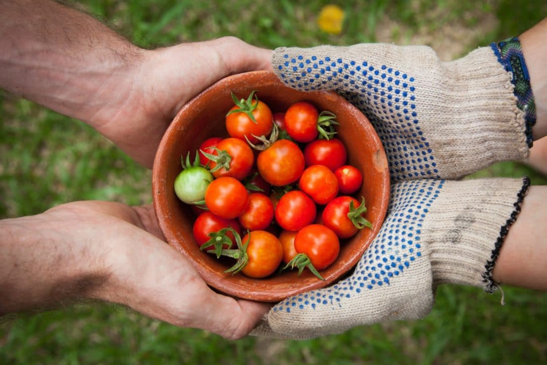 Tout savoir sur l'arrosage de la tomate au potager