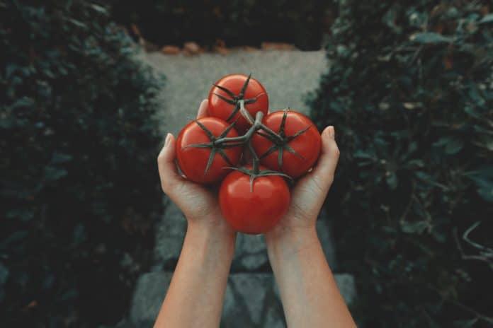 variete de tomate precoce