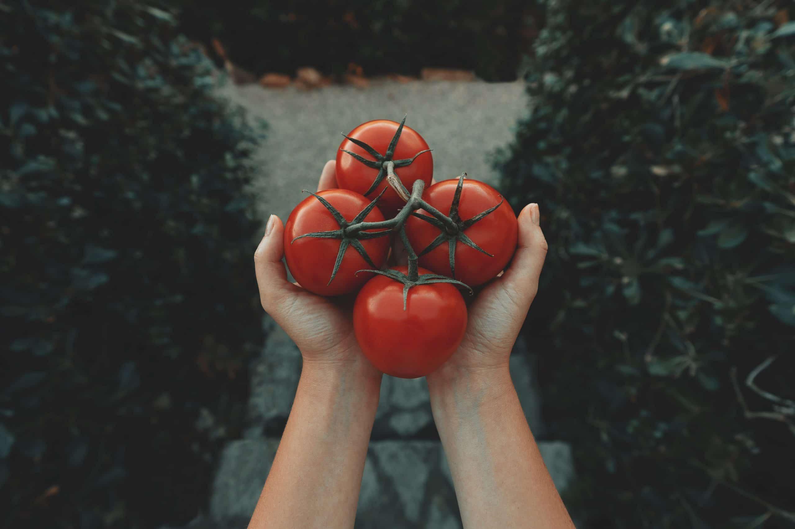 Quelles sont les variétés de tomates les plus précoces ?