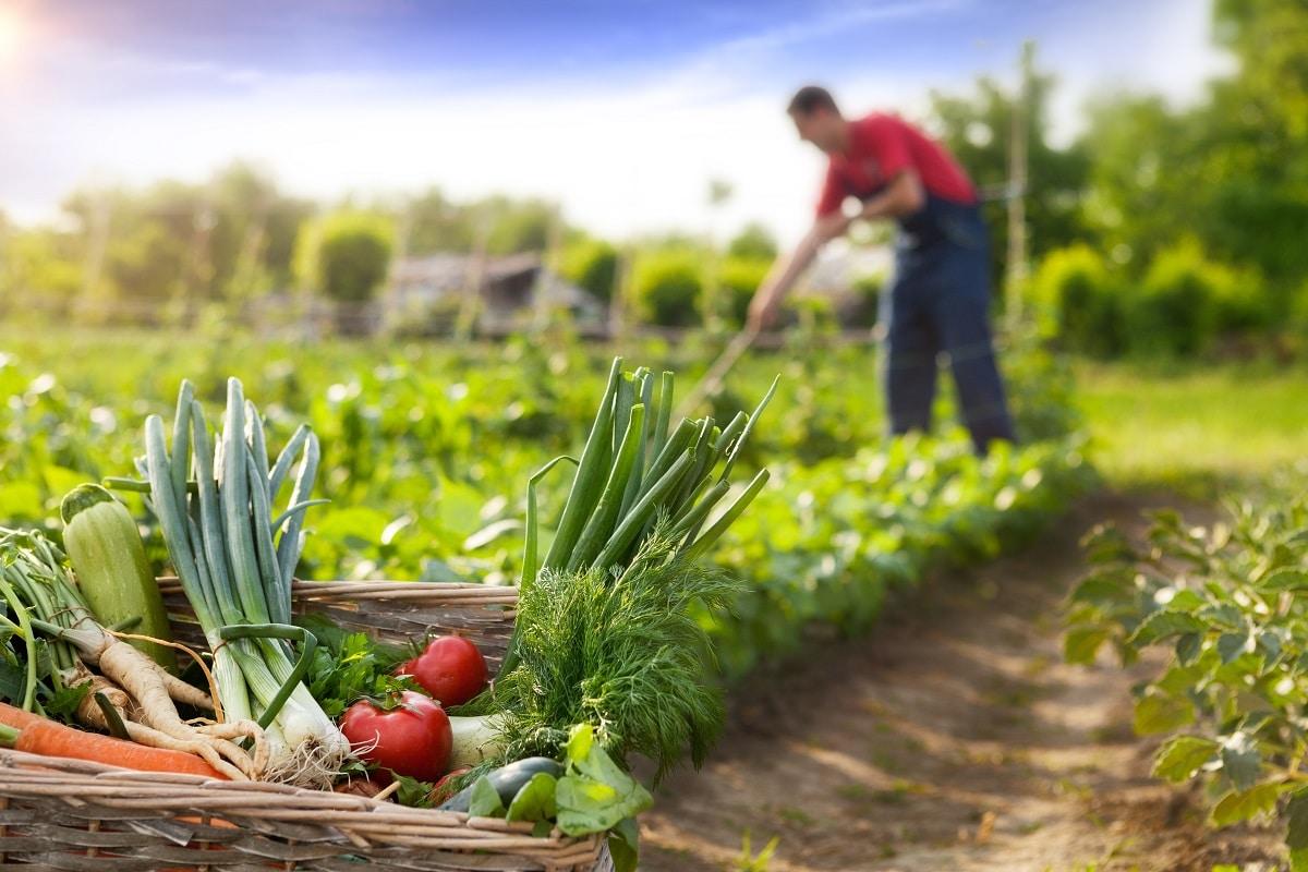 association des legumes dans le jardin