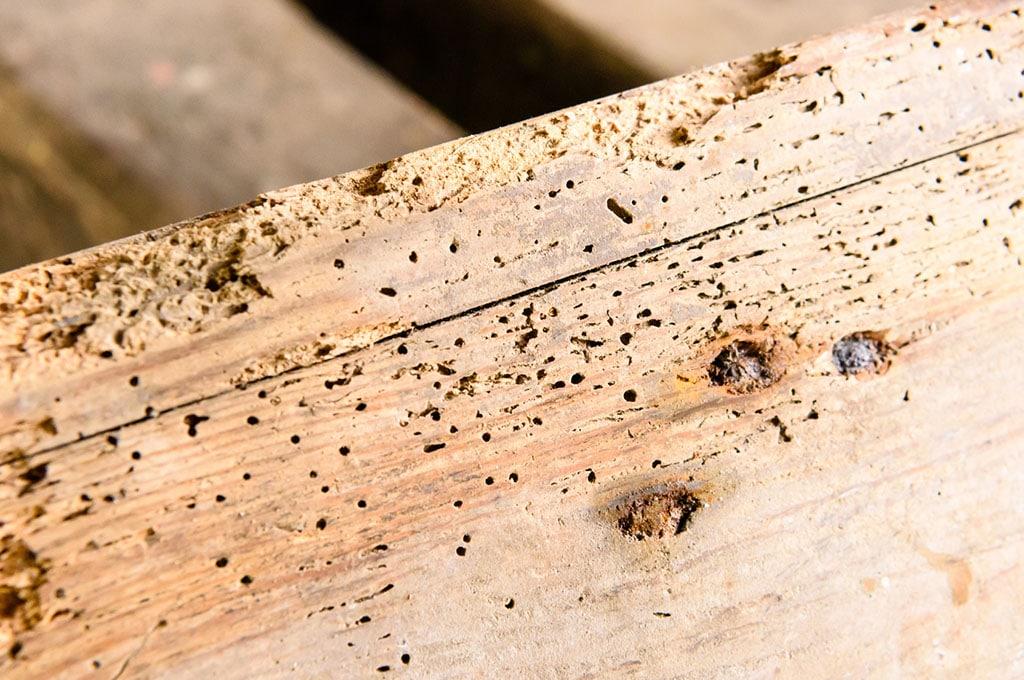 bois attaqué par la vrillette du bois