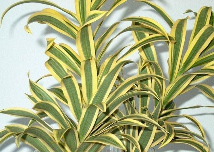 dracaena plante sans lumiere