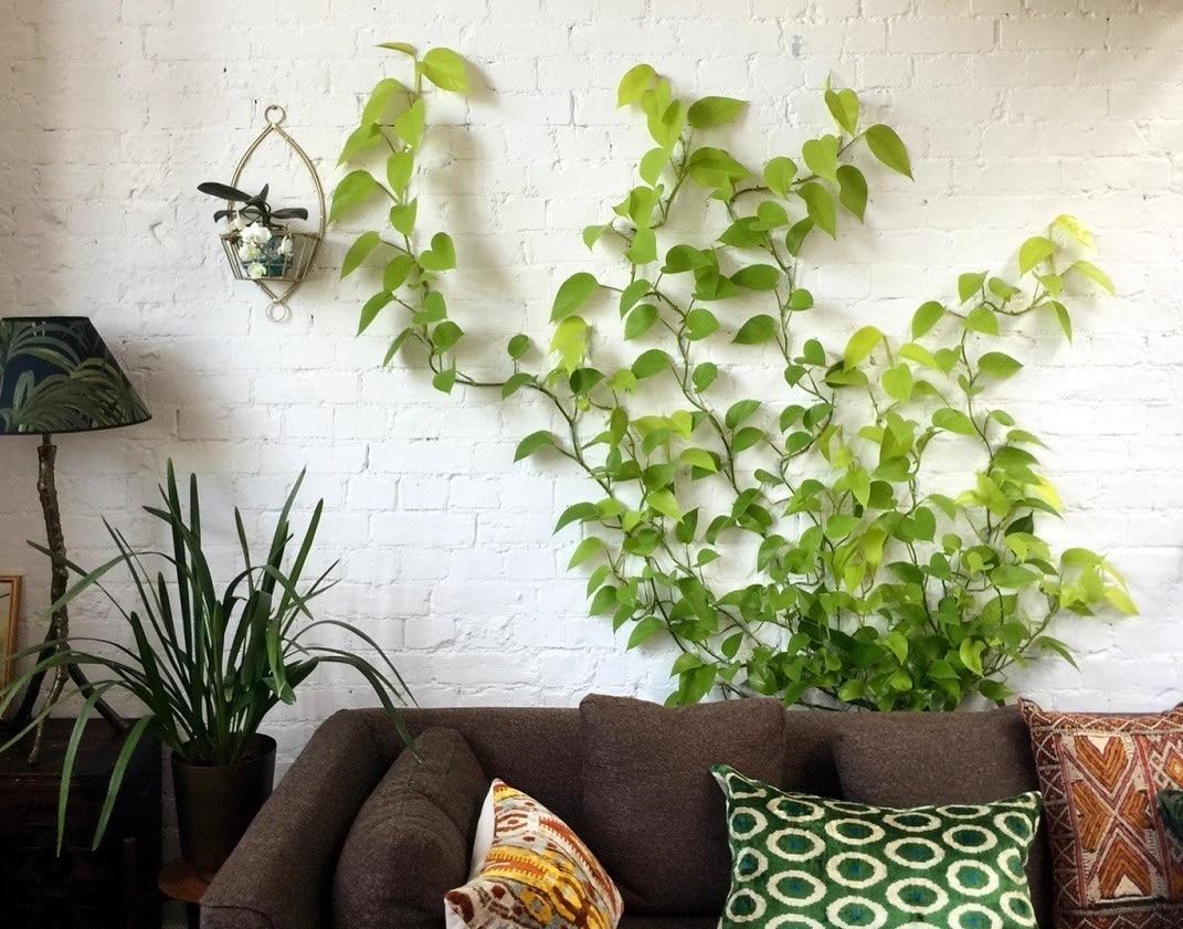 TOP 10 des plantes grimpantes pour l'intérieur de la maison