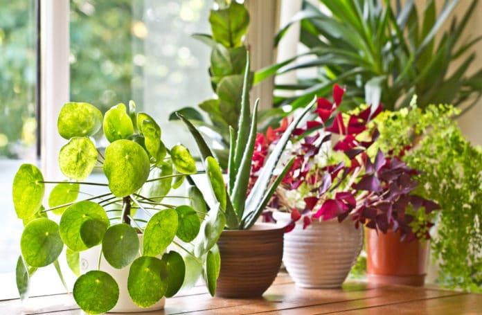 plante intérieure increvable resistante