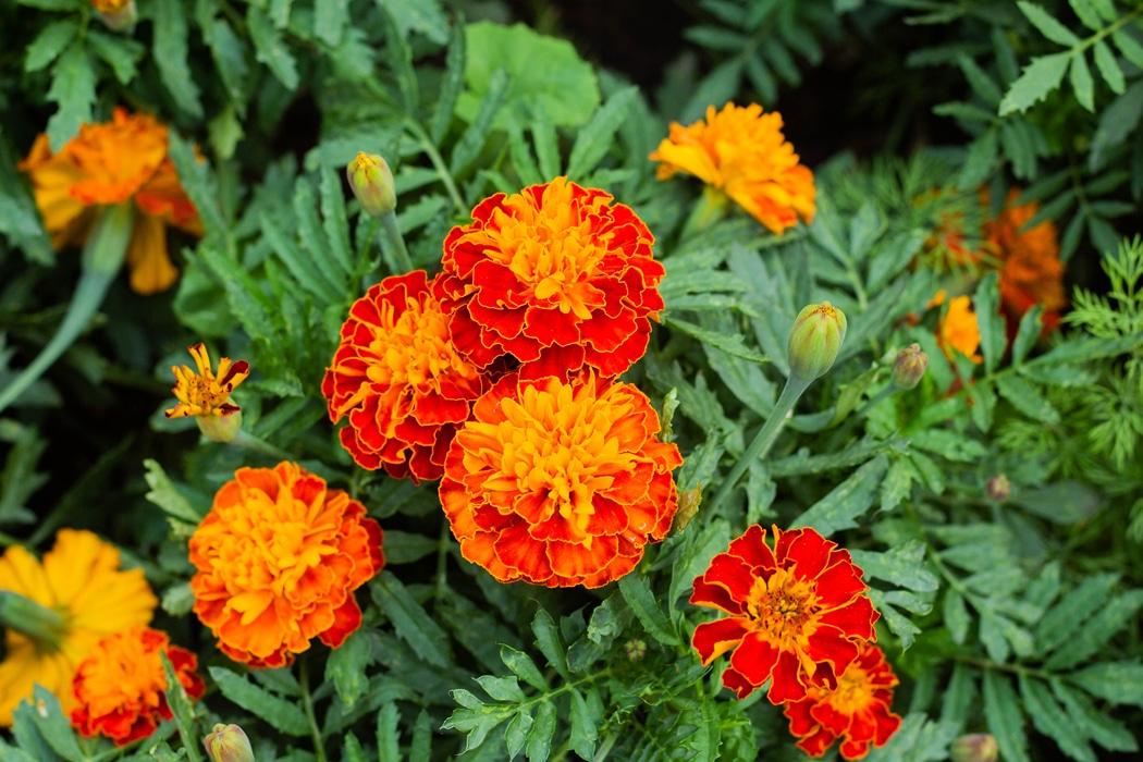 L'œillet d'Inde french marigold