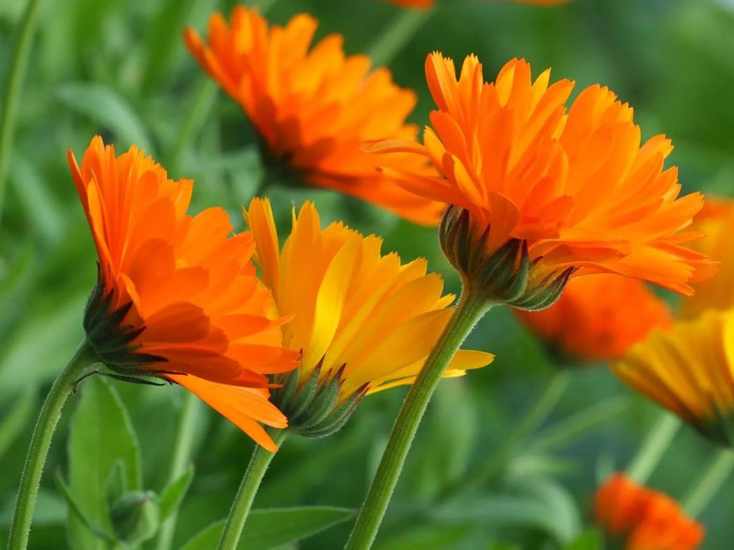 souci fleurs