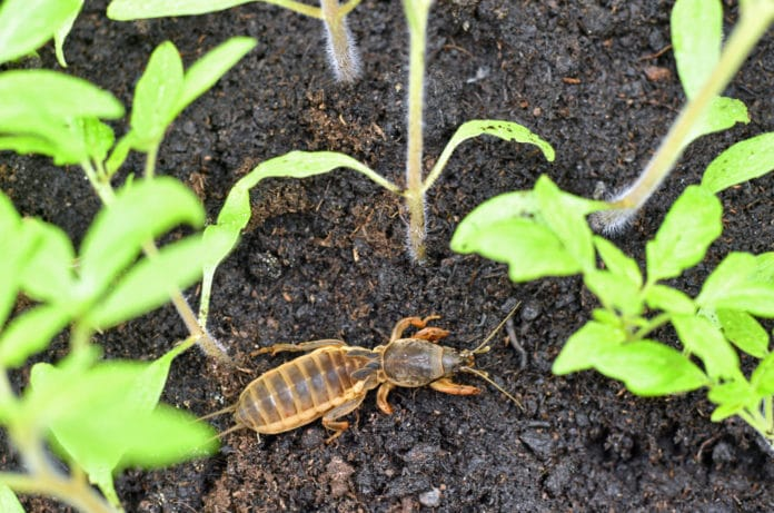 Les ravages de la courtilière au jardin, comment s'en débarrasser naturellement