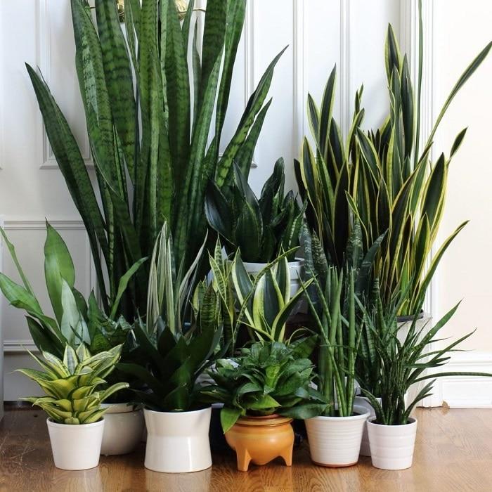 Sansevieria plante grasse