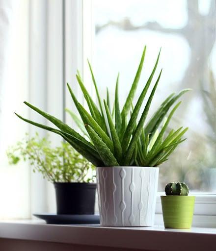 plante grasse intérieur
