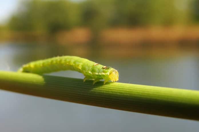 Comment lutter contre la chenille verte
