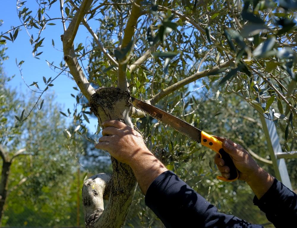 Taille de l'olivier